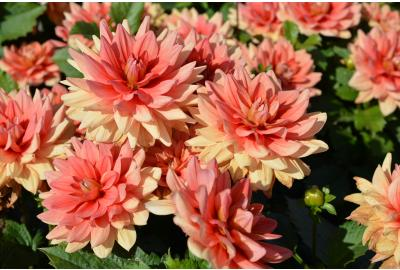 Can I leave my dahlias in the ground during winter?