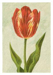 Tulip Rose Bijbloemen