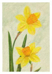 Daffodil Sir Watkin
