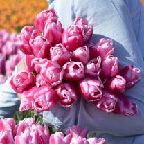 Pink tulip Aafke
