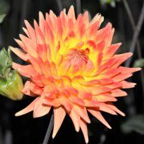 Dahlia Rising Sun