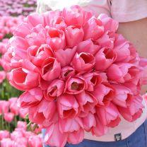 Pink tulip Sissi