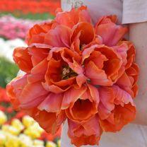 Tulip Ad Rem Parrot