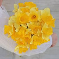 Daffodils Ballade by FAM Flower Farm