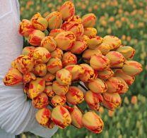 Flamed tulip Banja Luka