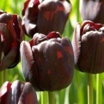 Black tulip Paul Schrerer