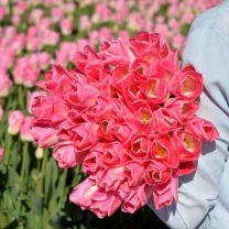 Pink tulip Dynasty