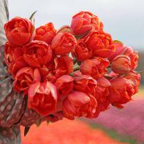 Double orange tulip Queensday