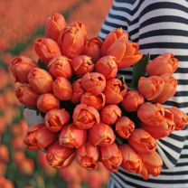 Orange tulip Triple A