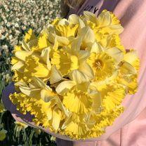 Daffodil Las Vegas
