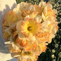 Daffodil Romy