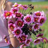 Dahlia Wishes and Dreams