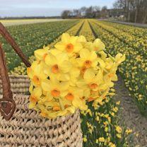 Daffodil Martinette