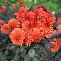 Dahlia Orange Pekoe