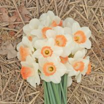 Daffodil Pink Charm