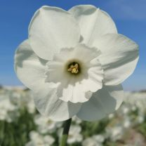 White daffodil Stainless