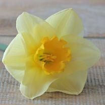 Daffodil Yellow Salome