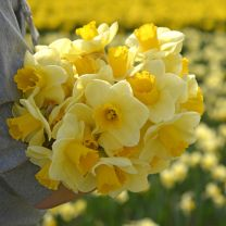 Daffodil Yellow Salome