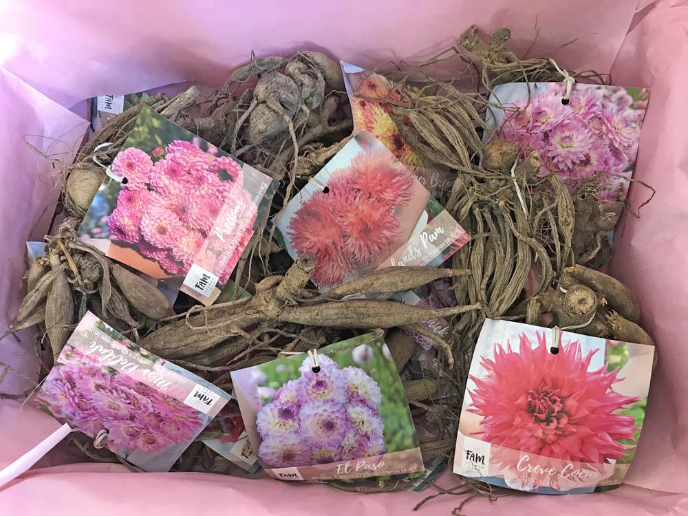 Tulip bulbs flowerbulbs daffodils packaging